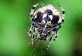 Eriovixia sp. Family Araneidae.jpg