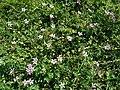 Erodium cicutarium 2019-04-18 1215.jpg