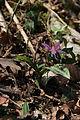Erythronium dens-canis Vuache 01 04 2013 13.jpg