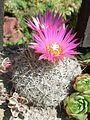 Escobaria vivipara var rosea 26juin2006.jpg