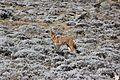 Ethiopian Wolf (16124555787).jpg