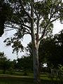 Eucalyptus camaldulensis 0001.jpg