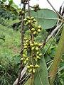 Eucalyptus camaldulensis 16.JPG