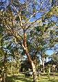 Eucalyptus punctata.jpg
