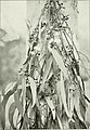 """Eucalyptus rudis in """"Eucalypts cultivated in the United States"""" (1902) (14780016771).jpg"""