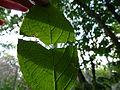 Eucommia ulmoides-Jardin des plantes 02.JPG