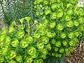 Euphorbia characias 1.JPG