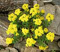 Euphorbia epithymoides 2.jpg
