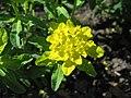 Euphorbia epithymoides Wilczomlecz pstry 2006-05-03 01.jpg