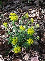 Euphorbia polychroma sl37.jpg