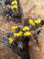 Euphorbia schinzii03.jpg