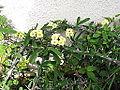 Euphorbia splendens imperatue-yercaud-salem-India.JPG