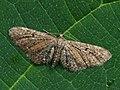 Eupithecia denotata - Campanula pug - Цветочная пяденица колокольчиковая (26071237247).jpg