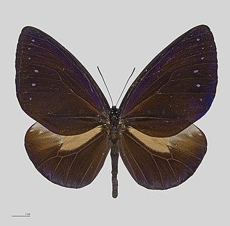 Euploea - Euploea phaenareta hollandi