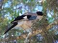 Eurasian Jay in the Sataf.jpg