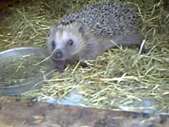 Податотека:European Hedgehog.webm