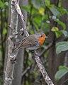 European Robin (Erithacus rubecula) - Oslo, Norway 2020-09-05 (01).jpg