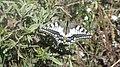 European Swallowtail.jpg