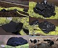Exidia truncata, Syn Exidia Glandulosa (GB= Black Witches Butter, Syn. Black Jelly Roll, D= Stoppeliger Drüsling, F= Exidie tronquée, NL= Eikentrilzwam) white spores and causes white rot, at NP Hoge Veluwe - panoramio.jpg