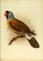 Extinctbirds1907 P9 Mascarinus mascarinus0299.png