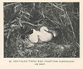 FMIB 43315 Red-Tailed tropic bird (Phaethon rubricauda) on nest.jpeg