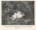 FMIB 43315 Red-Tailed tropic bird (Phaethon rubricauda) on nest.jpeg