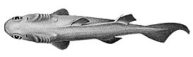 FMIB 45444 Centrosyllium ornatum, a Sping Dog-Fish from 285-690 fathoms.jpeg