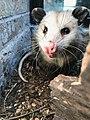 FWNCR Opossum.jpg