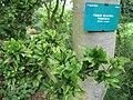 Fagus sylvatica cristata.jpg