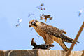 Falco biarmicus, Mauritania 1.jpg