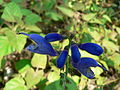 Fale - Giardini Botanici Hanbury in Ventimiglia - 624.jpg