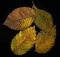 Fall Leaf Scan (15245457668).jpg