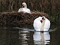 Father swan is protecting breeding mother and swims away very impressive at Houten Reedpond. See next picture for the result of this quick action - panoramio.jpg