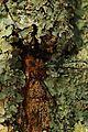 Faucheux sur lichens.jpg