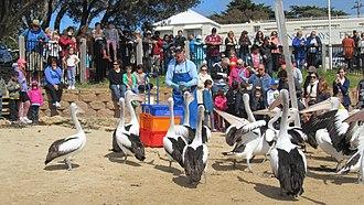 San Remo, Victoria - Feeding the Pelicans at San Remo jetty