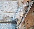 Felis manul in moscow zoo II.jpg