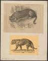 Felis tigris - 1700-1880 - Print - Iconographia Zoologica - Special Collections University of Amsterdam - UBA01 IZ22100087.tif