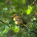 Female Summer Tanager (7093897573).jpg