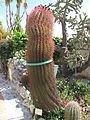 Ferocactus pilosus (Eze).jpg