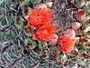 Ferocactus wislizenii-flowers