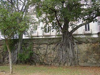 <i>Ficus americana</i> species of fig tree native to the Neotropics