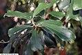 Ficus craterostoma 1zz.jpg