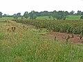 Field of beans near Milburn - geograph.org.uk - 220284.jpg