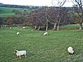 Field with sheep near Ruffside - geograph.org.uk - 282222.jpg