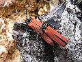 File-Redwinged Lycid Beetle 02.jpg