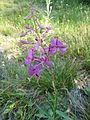 Fireweed (14891659098).jpg