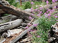 Fireweed Rocky Mountain National Park USA.JPG