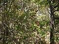 Flacourtia montana (8502453225).jpg