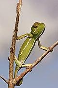Flap-necked chameleon (Chamaeleo dilepis) female 2.jpg