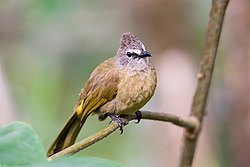 Flavescent bulbul, pycnonotus flavescens.jpg